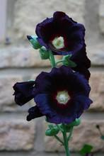 Dark Black Hollyhock Flower