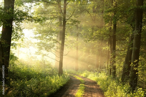 Dirt road through the spring deciduous forest on a foggy morning