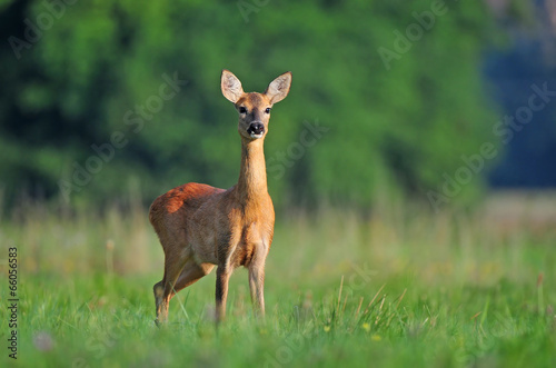Tuinposter Ree Roe deer