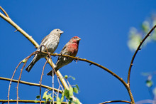 Male And Female House Finch Pe...