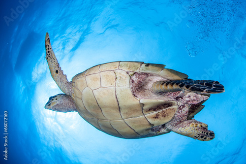 Poster Tortue Hawksbill Turtle and Sun