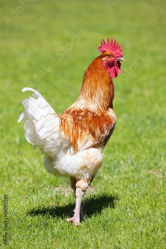 Keuken foto achterwand Kip cock on green grass
