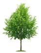 Leinwanddruck Bild - Freigestellter Lindenbaum mit Blütenknospen