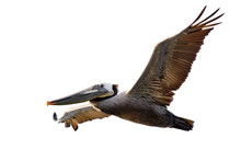 Brown Pelican In Fligh