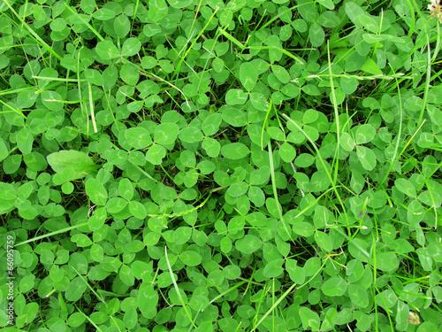 Stampa su Tela Green grass clover seamless texture