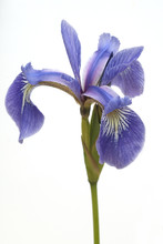 Sumpfiris, Iris, Versicolor, B...