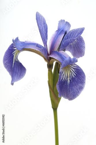 Spoed Foto op Canvas Iris Sumpfiris, Iris, versicolor, Blaue Sumpf-Schwertlilie,