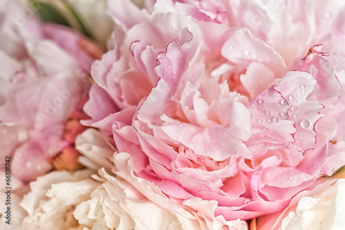 Photo  Blooming pink peonies