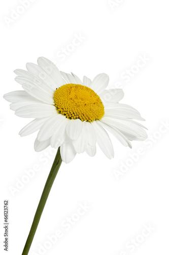 In de dag Madeliefjes daisy flower