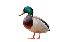 Isolated Male Mallard Duck