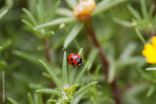 Photo  Coccinella septempunctata
