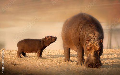 Baby hippo with mother hippopotamus