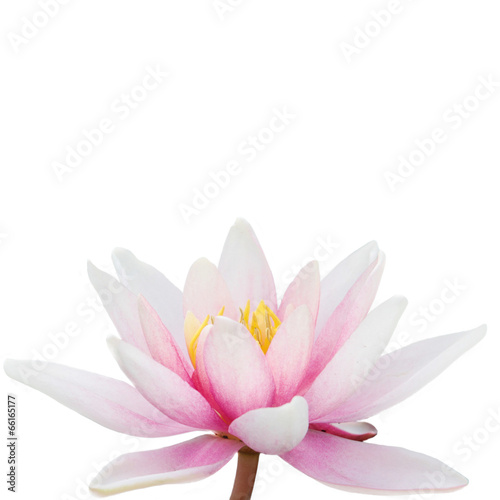 Garden Poster Lotus flower Water Lily isolatet