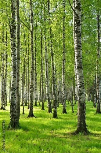 Fototapeta Birch trees in spring obraz na płótnie
