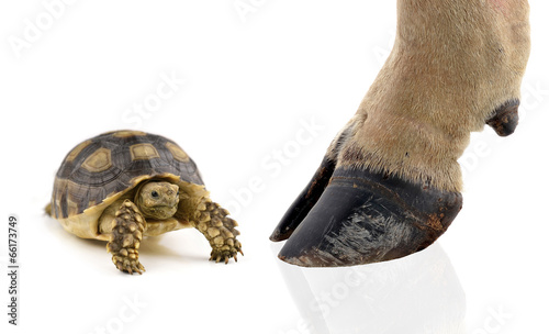 Photo sur Toile Tortue turtle and cow hooves on white background.