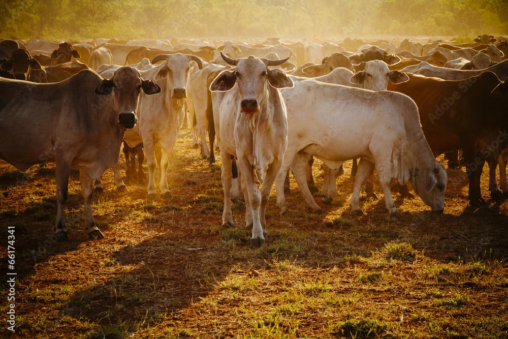 Fototapeta Australian cattle on a farm, Western Australia