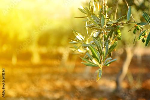 Tuinposter Olijfboom Olive trees garden, mediterranean olive field ready for harvest.