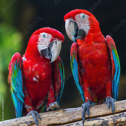 couple of macaw parrots in nature #66204139