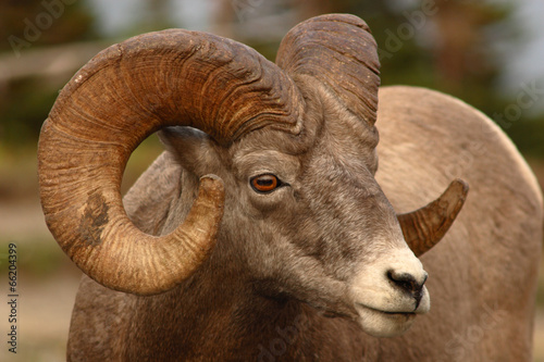 Fotografie, Obraz  A large Bighorn Sheep ram with a full curl of horn