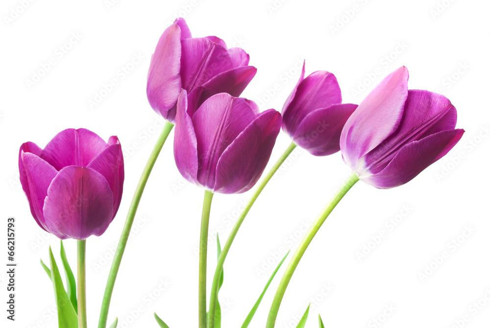 Fototapety, obrazy: purple tulips isolated on white background