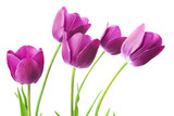 Fototapeta Tulips - purple tulips isolated on white background