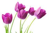 Fototapeta Tulips - purple tulips isolated on white background