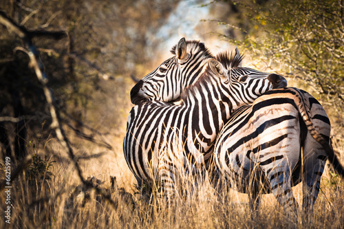 Deurstickers Afrika Zebra in love