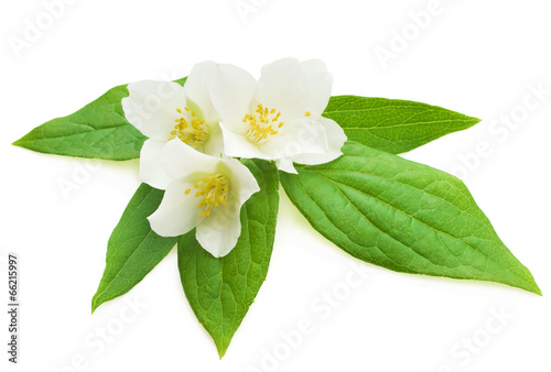 Foto op Plexiglas Magnolia Jasmine flower with leaves