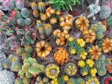 Flowering Cacti