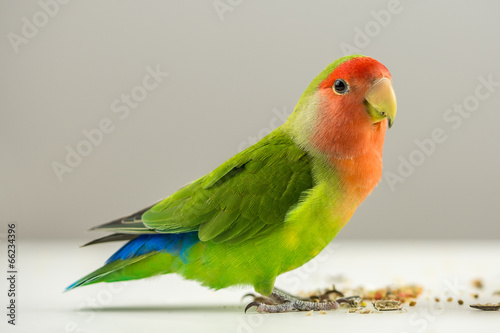 Colorful agapornis Canvas Print