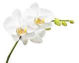Trzy dni stary orchidea na białym tle.
