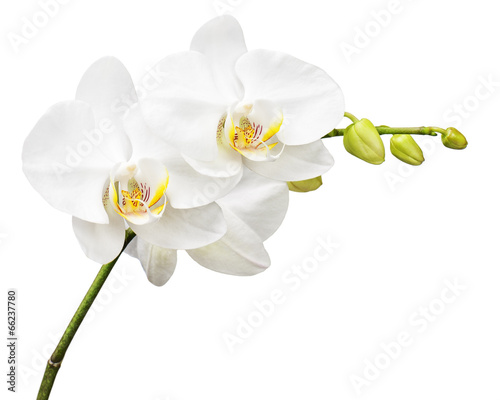 Three day old orchid isolated on white background. Fototapeta