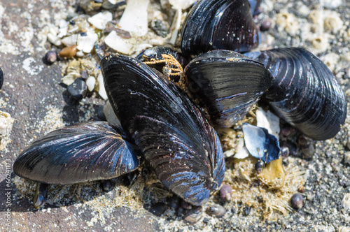Mussels attached to rocks at the ocean