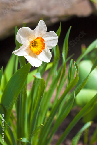 Narcissus Narcissus flower on spring