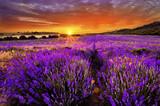 Fototapeta Lavender - Lavender