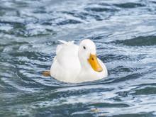 Female Peking Duck On The Sein...