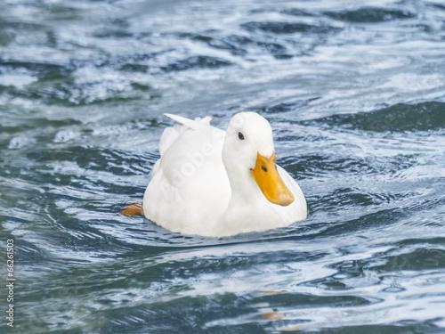 Female Peking duck on the Seine River Poster