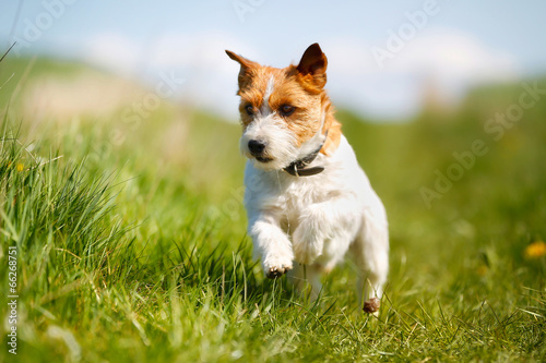 Poster Chien Jack Russell Terrier dog