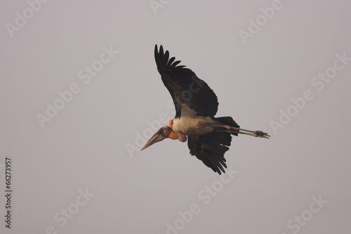 Greater adjutant stork (Leptoptilos dubius) in India  Canvas Print