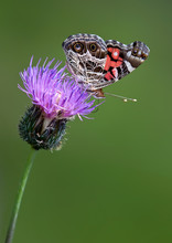 American Lady Butterfly Feeding On Thistle Flower