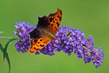 Question Mark Butterfly On Purple Butterfly Bush Flowers