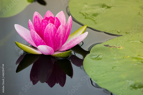 Poster de jardin Nénuphars Pink lotus blossoms or water lily flowers blooming on pond