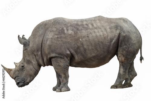 Rhino rhino on a white background