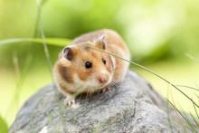 Cute Hamster (Syrian Hamster) ...