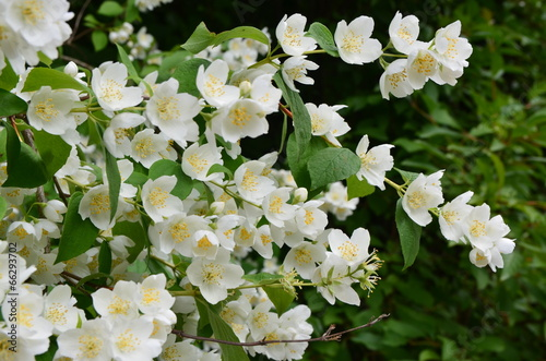 Photo  Jasminblüten duftend