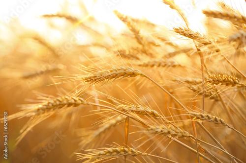 Papiers peints Culture Wheat field