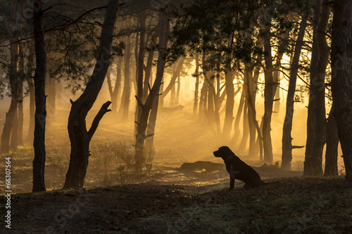 Poster Chasse Dog sits in a tight fog in pine forest at dawn in the morning in
