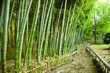 Ścieżka w bambusowym lesie