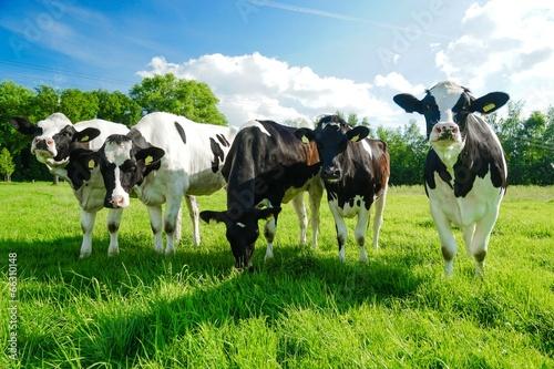 Photo Stands Cow Rinderherde im Gegenlicht