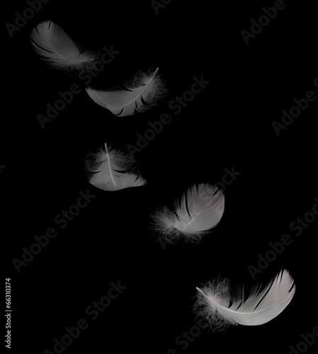 flying white swan feather on the black background